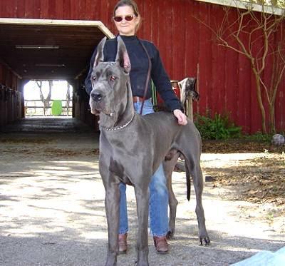 Great Dane Giant Size Dog