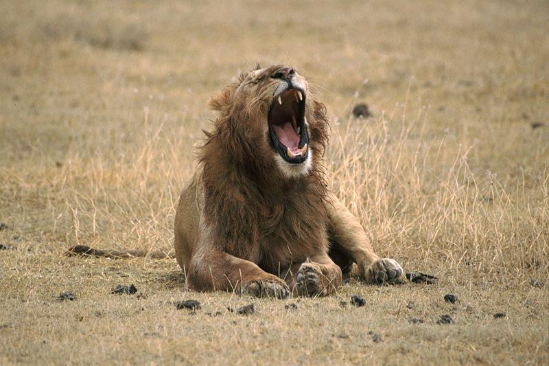 File:Lion Yawning.jpg