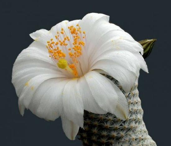 cactus-flowers- (19)