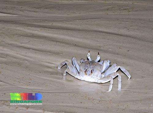 Horn-eyed ghost crab (Ocypode cerathophthalmus)