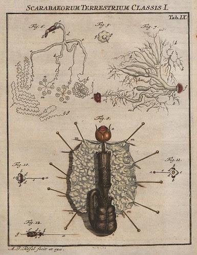 Scarabaeorum terrestrium praefat (dissected) V.4