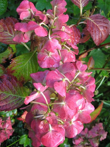end of the hydrangea
