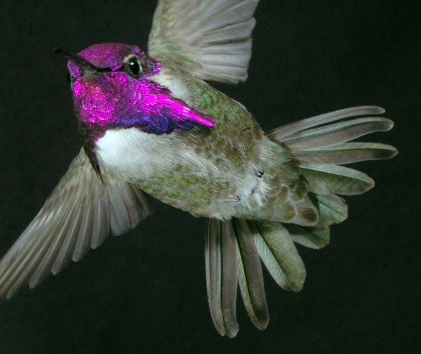 Male Costa's hummingbirds court females using a high-speed dive in which they sing with their tail feathers.