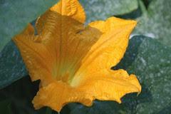 pumpkin flower 2