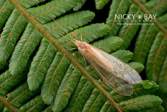 Caddisfly (Trichoptera) - DSC_1360
