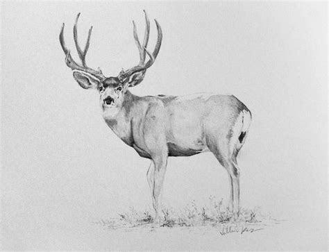 inches pencil drawing   mule deer buck art
