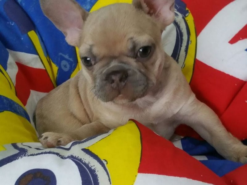 French Bulldog Puppies | For Sale ACT: Canberra