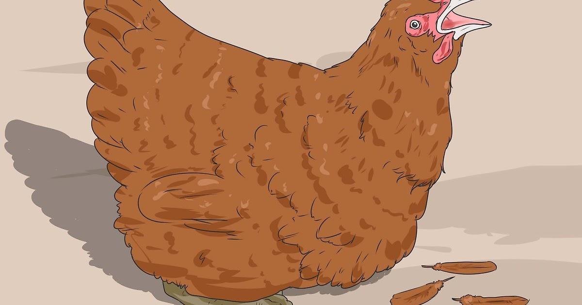 gambar mewarnai ayam betina gambar ayam hitam putih guru