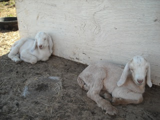 New Nubian LaMancha Goat Kids Bert and Ernie