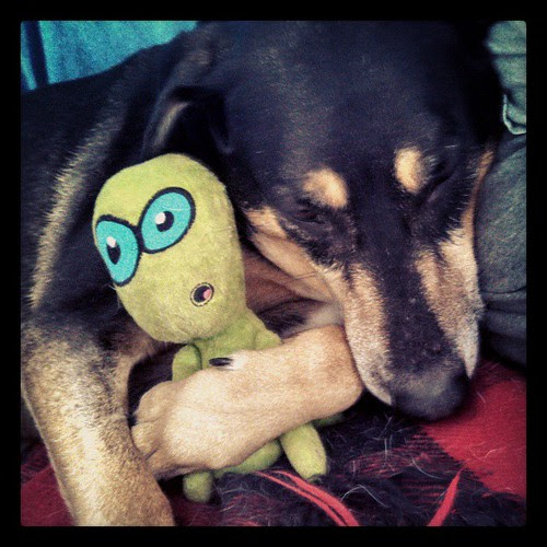 Saturday morning snuggles! #dogstagram #coonhoundmix #love #alien #dogtoys #happydog