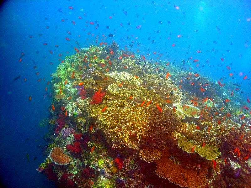 Coral fiji moturiki.jpg