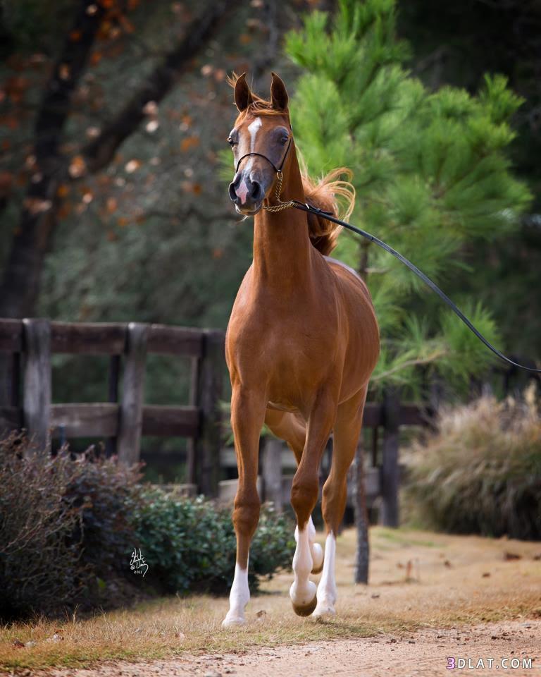 حصان عربى
