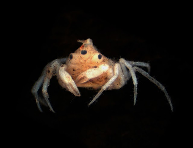 Este cangrejo tiene tres ojos y una antena