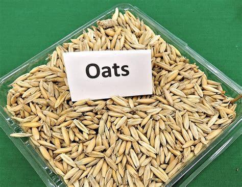 photo oats grain cereal animal feed  image