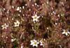 common linanthus - linanthus parviflorus