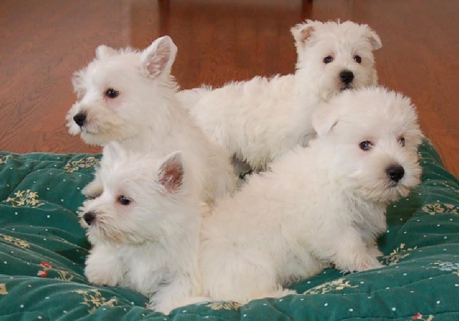Buy Westie Puppies In Texas USA