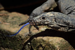 Salvator macromaculatus (Impian) Tags: reptile amphibian lizard goanna monitorlizard carnivor varanus varanidae biawak commonindianmonitor varanusbengalensis salvatormacromaculatus