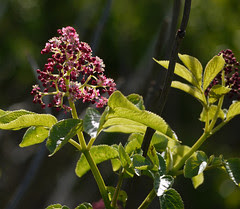red elderberry - sambucus racemosa