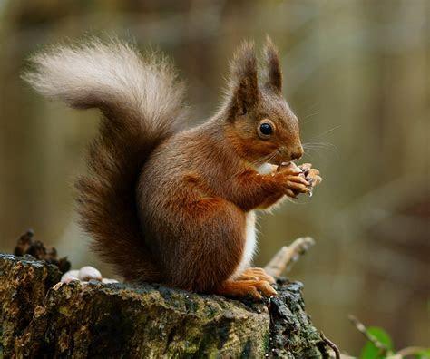 File:Squirrel posing   Wikipedia