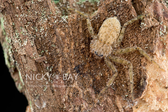 Wall Crab Spider (Selenopidae) - DSC_8623