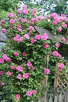 'Rosa 'Zéphirine Drouhin', a Bourbon rose