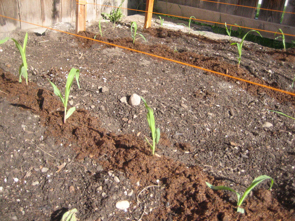 How Far Apart Should Sweet Corn be Planted?   eHow UK