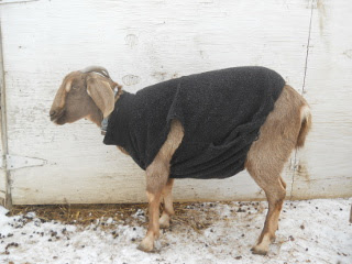 Our Goat Annie's Winter Coat