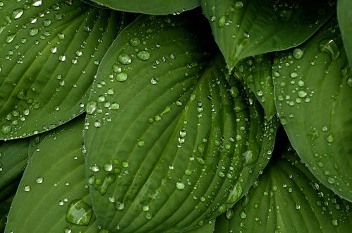 Rainy Day Garden - Hosta