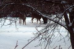 Deer_30108