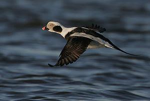 A drake Long-tailed Duck in flight. Image take...