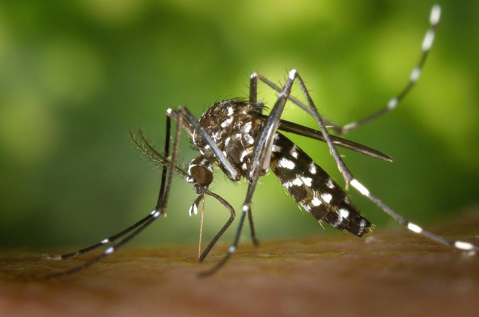 Aedes Aegypti transmite a dengue, febre amarela, zika e chikungunya (Foto: Divulgação)