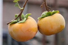 Fuyu Persimmons grown in Los Angeles