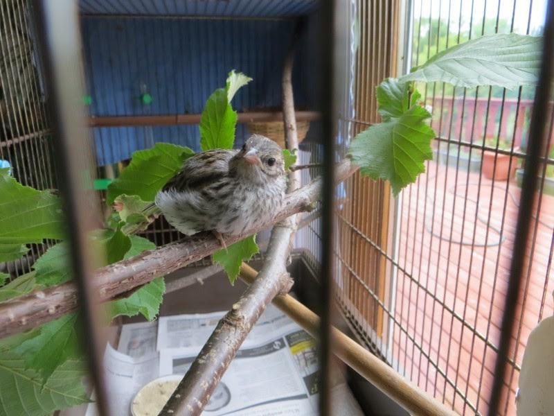 Этот птенец выпал из гнезда и умирал… Но посмотрите, что произошло через 36 дней! животные, интересное