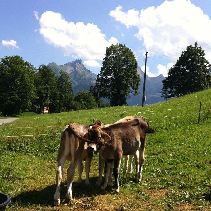 Alpen, Berge, Kühe, Panorama