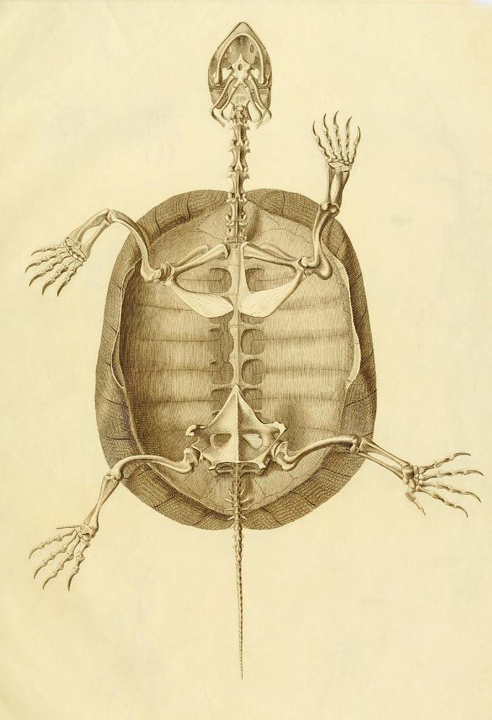 Anatome testudinis Europaeae 4