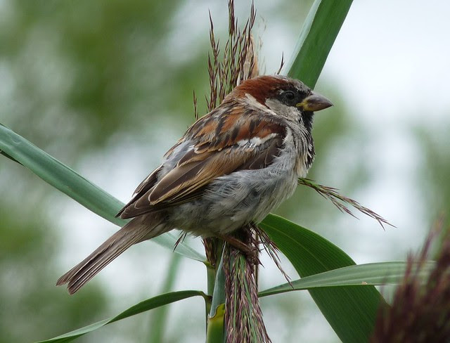 24782 - House Sparrow, Llangorse Lake