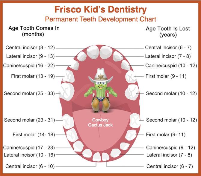 Permanent Tooth Development Chart