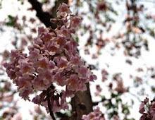 Paulownias en fleurs