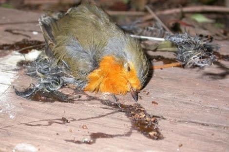 Un pájaro, muerto al quedarse pegado. |SEO/Birdlife