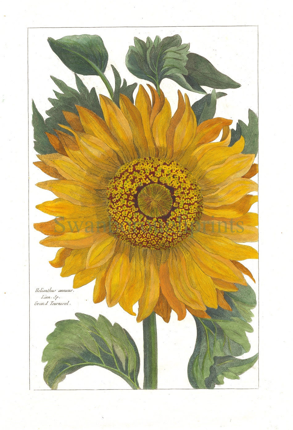 Sunflower Print Vintage French Sunflower by swanboroughprints