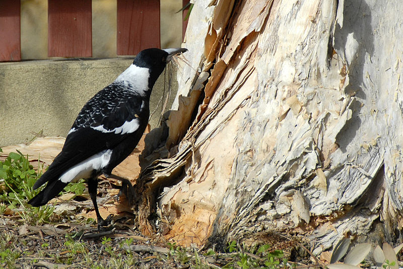 File:Gymnorhina tibicen, nesting.JPG