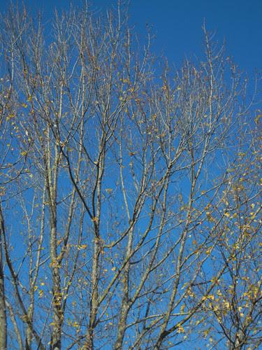 DSCN7366 - Golden Autumn Leaves