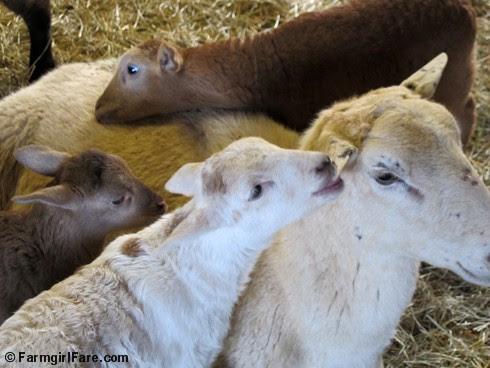 Clare Elizabeth and her triplet lambs 1 - FarmgirlFare.com