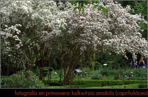 kolkwitzia amabilis (caprifoliácea)
