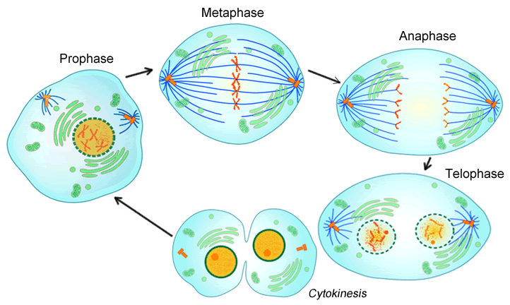 Cell Cycle (notes: 9.1)