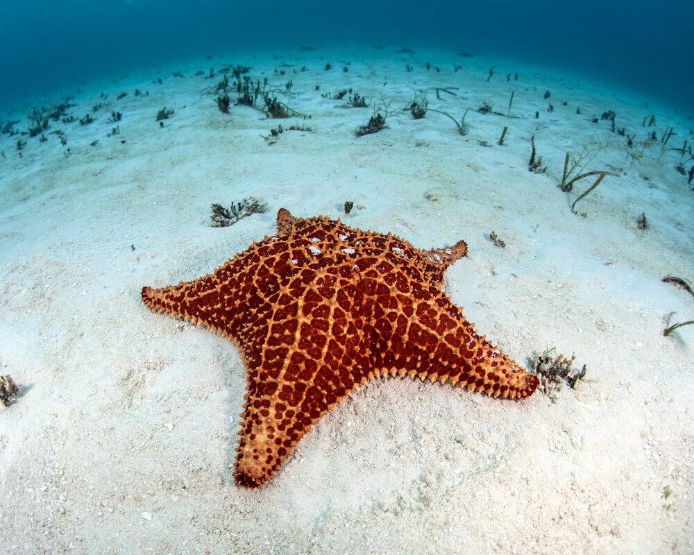 Bio Marine Les échinodermes L étoile De Mer Coussin Réticulée