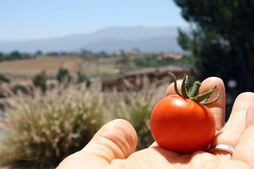 A healthy tomato!