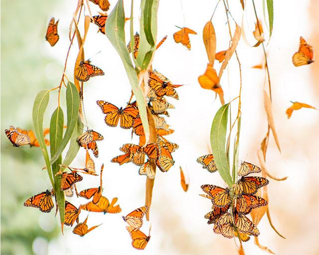 Monarch Butterfly Grove, Pismo                                                           Beach,                                                           California
