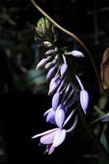 CAS - a flower