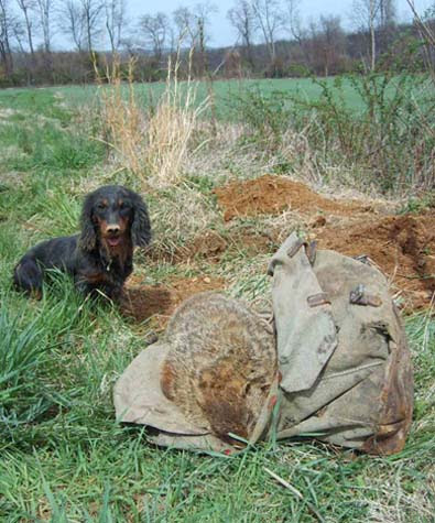 terrierman s daily dose working dachshunds very useful in the field